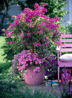 Bougainvillea im rosa Kunststoffkübel