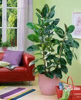 Ficus elastica (Gummibaum) in rosa Topf auf dem Boden, Sofa, Korb