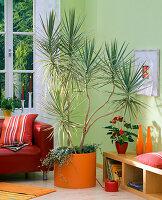 Dracaena 'Tricolor' (Drachenbaum) in orangem Topf, unterpflanzt mit Hedera