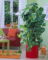 Epipremnum pinnatum (Efeutute) in rotem Topf im Wohnzimmer, Wohnzimmertisch