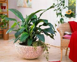 Spathiphyllum (Einblatt), Hedera (Efeu) in Schale mit Holz - Verkleidung