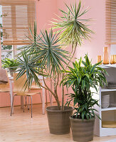 Dracaena (Drachenbäume) als Raumteiler in der Küche