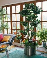 Ficus microcarpa (Vorhangfeige) als Zimmerbaum unterpflanzt mit Guzmania