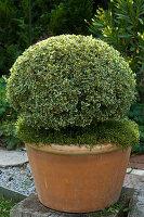 Buxus sempervirens 'Variegatus' (Panaschierter Buchs)