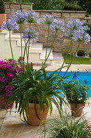 Agapanthus africanus (Afrikanische Schmucklilie), Salvia