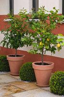 Citrus limon (Zitronen) in Kübeln, Buxus (Buchs) Kugeln