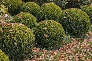 Buxus (Buchs - Kugeln) mit Herbstlaub im Garten