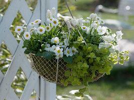 Draht - Korb bepflanzt mit weißen Frühlingsblumen