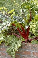 Mangold 'Bright Lights' (Beta vulgaris) im Hochbeet