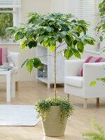 Coffea arabica (Kaffeebaum) Pilea depressa 'Kiereweed'