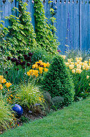 SPRING BORDER with Blue DECORATIVE FENCING, Golden HOP, Blue GLAZING Ball, Box PYRAMID, Tulipa 'Queen of NIGHT', 'Golden MELODY' AND 'MAJA'