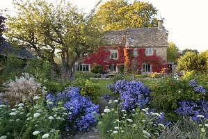 THE GRAY HOUSE, OXFORDSHIRE, DESIGNED by Tim REES: BACK of THE GRAY HOUSE IN AUTUMN with Boston IVY, Aster TURBINELLUS, ANNUAL CARROT - AMMI MAJOR