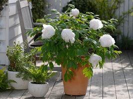 Paeonia suffruticosa 'Sahohime' syn. 'Princess Saho' (Strauchpfingstrose)