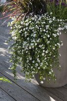 Bacopa Taifun 'Mega White' (Schneeflöckchen)