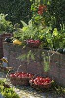 Körbe mit frisch geernteten Tomaten (Lycopersicon) vor Hochbeet