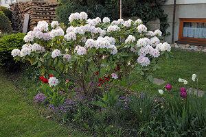 Rhododendron 'Schneebukett' (Alpenrose), Tulipa (Tulpen), Narcissus (Narzissen), Arabis (Gänsekresse)