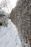 Verschneiter Garten mit Hecke aus Carpinus (Hainbuche, Weißbuche)