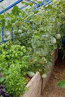 Gewächshaus mit Hochbeet : verschiedene Basilikum - Sorten (Ocimum basilicum) und mit Stroh gemulchte Zuckermelonen, Carentais-Melonen (Cucumis melo)