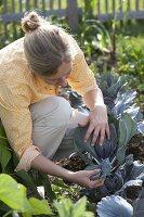 Frau kontrolliert Rotkohl (Brassica) auf Schädlinge