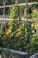 Blühende Feuerbohnen (Phaseolus) an Bohnenstangen, Holzrost als Weg