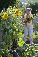 Frau schneidet Helianthus (Sonnenblumen)