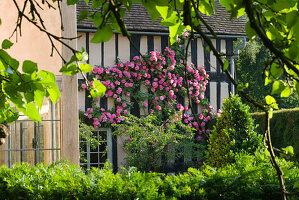WOLLERTON Old HALL, SHROPSHIRE: SOUTH WALL of THE HOUSE with Rosa 'ZEPHERINE DROUHIN'