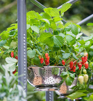 CHELSEA FLOWER Show 2009: FRESHLY PREPPED Garden by ARALIA. OUTDOOR KITCHEN with COLANDERS USED As HANGING BASKETS PLANTED with Strawberries