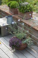 Schale auf Holzdeck mit Linum perenne 'Nanum Saphir' (Blauer Staudenlein)