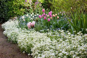Fruehlingsbeet mit Tulipa (Tulpen), Arabis (Gänsekresse), Myosotis (Vergissmeinnicht), Hyacinthus (Hyazinthen) und Narcissus (Narzissen)