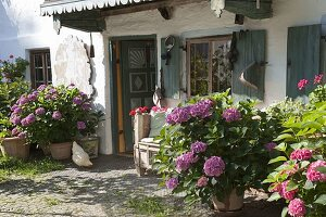Hydrangea (Hortensien) in grossen Kübeln vor altem Bauernhaus