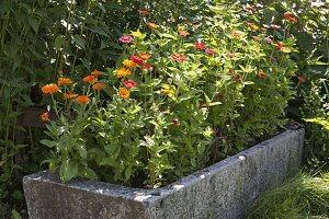 Natursteintrog mit Calendula (Ringelblumen) und Zinnia (Zinnien)