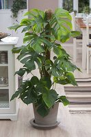 Philodendron petusum syn. Monstera deliciosa (Fensterblatt)
