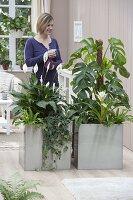 Edelstahl - Gefaesse als Raumteiler bepflanzt mit Philodendron pertusum