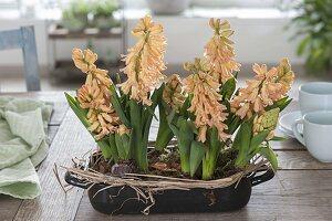 Blühende Hyacinthus (Hyazinthen) in emaillierter Auflaufform