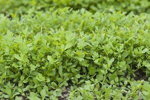 Kresse, Gartenkresse (Lepidium sativum) im Garten