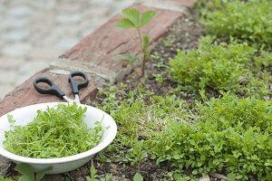 Kresse, Gartenkresse (Lepidium sativum) im Hochbeet, Schüssel mit Kresse