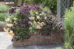 Weihenstephaner Kasten mit Begonia Cultivars 'Chardonnay'