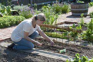 Zuckererbse 'Ambrosia' im Biogarten anbauen