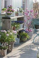 Fruehlingsterrasse : Ranunculus (Ranunkeln), Anemone (Buschwindröschen