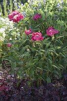 Paeonia lactiflora 'Tom Eckardt' (Edel-Pfingstrose) mit Heuchera