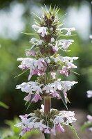 Morina longifolia - Elfendistel, Steppendistel