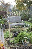 weiße Karotten im Biogarten ernten