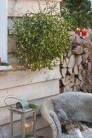 Viscum album (Mistelzweig) an der Wand aufgehängt, Katze Minka liegt