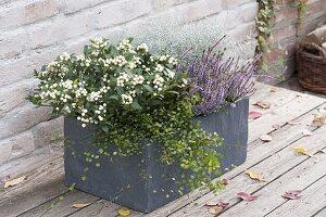 Skimmia japonica 'Kew White' (Fruchtskimmie), Calluna Garden Girls 'Hilda'