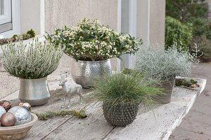 Silbern - weisses Tisch - Arrangement : Skimmia japonica 'Kew White'