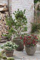Pinus parviflora 'Negishi' (Blaue Maedchenkiefer)