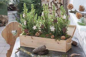 Prosecco-Holz-Kasten weihnachtlich bepflanzt mit Picea glauca 'Conica'