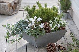 Graue Schale mit Cyclamen (Alpenveilchen), Hedera (Efeu), Pinus (Kiefer)