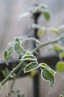 Rosenblatt mit Rauhreifrand - Rosa (Rosen) mit Frost