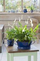 Spathiphyllum wallisii (Einblatt) ein blauer Emaille-Schüssel und Tasse
